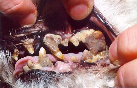 Пиорея (пародонтоз). воспаление десен и зубных лунок челюстей, сопровождающееся гноем и...